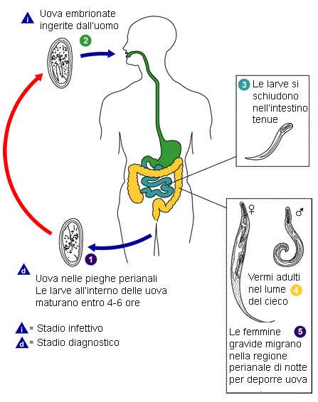 vermi intestinali bianchi nelluomo